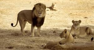 "Dentist Killed Cecil The Lion ""For Fun"""